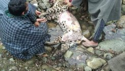 Leopard killed and skinned in Kashmir