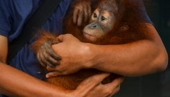 Indonesia covers up to protect orangutans from virus