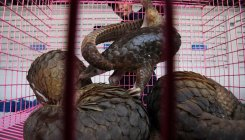 TN, Uttarakhand emerge pangolin trafficking hubs
