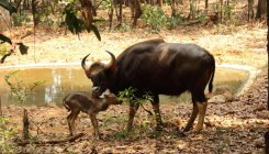 Bison calf new entry to Pilikula park