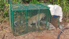 Leopard trapped in cage near Brahmavar