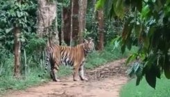 Tiger spotted in coffee estate near Gonikoppa
