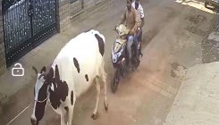 Thieves target world's highest-yielding milk cows