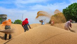 Govt buys 216 lakh tonnes wheat from farmers at MSP