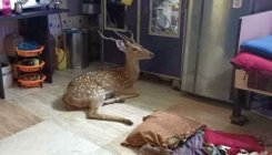 Deer falls into Mumbai house, rescued