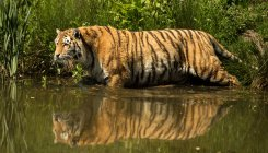 Tiger spotted on Hunsur–Gonikoppa highway
