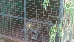 Forest Dept searches for leopard that killed woman