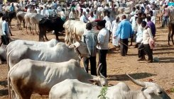 Cattle fair held without hindrance in Ajjampura