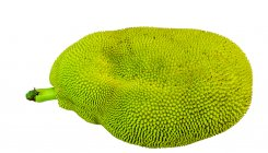 Will Wayanad's giant jackfruit make it to Guinness?