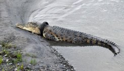 Indonesia offers reward for taking tyre off croc's neck