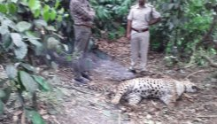 Carcass of leopard found in coffee plantation