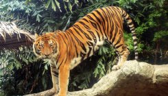 'Sunderban tigers did not stray into human habitat'