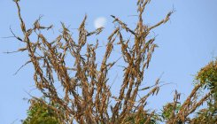 Jhansi put on alert against locusts