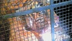 Tiger, suspected to have killed man, rescued