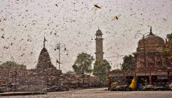 Locust swarms head towards Gondia, authorities alerted