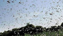 Centre to deploy choppers to tackle locust swarms