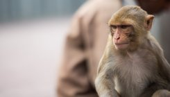 Monkeys steal coronavirus blood samples in India