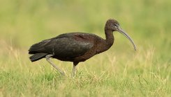 Ibis bird collapses; rescued from PM's residence