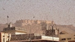'Farmers need not panic over swarms of locusts'