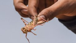 Plea for implementing plan to control locusts rejected