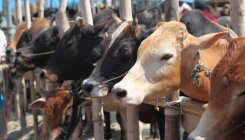 Drop GST to save 'Gau, Gaushala and Gopalaks': VHP