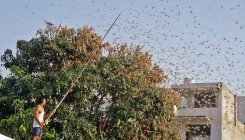 India battles new wave of crop-munching locusts