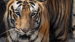 India loses 750 tigers in the last eight years