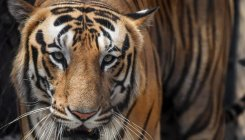 Tiger population on road to recovery: Govt
