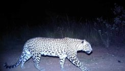 Fake News: Viral pic of leopard is not from Turahalli