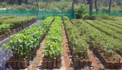 Forest dept to distribute 80,000 saplings