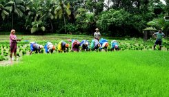 Paddy cultivation of additional 30 ha in Kaup taluk