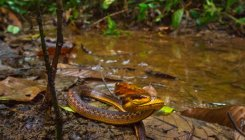 Snake species rediscovered in Arunachal after 129 years