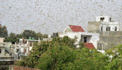 Centre deploys helicopter for locust control