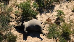 What can be causing Botswana's mystery elephant death?