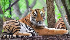 From the Newsroom: Tiger Census sets new World Record