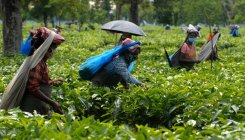 Crop shortfall leads to higher tea prices at auctions