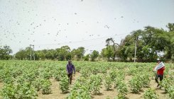 'Locust control steps taken in nearly 3 lakh hectares'