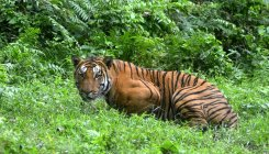 'Golden tigress in Kaziranga caused by unique gene'
