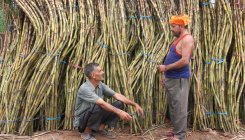 Sugar output may rise 12% in SY21 at 30.5 mn MT