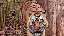 Injured male tiger draws attention