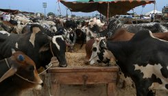45 cows locked in room die of suffocation in Bilaspur
