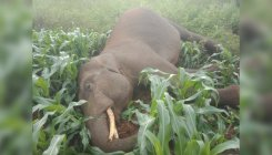 Elephant electrocuted in Chikkamagaluru