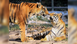 West Bengal's Buxa reserve to get 6 Royal Bengal tigers