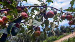 Apple growers of HP face challenge in absence of labour