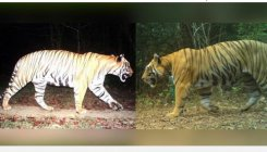 Tiger walks 300 km from Maharasthra to Kali reserve
