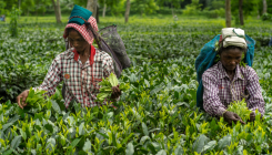 Double whammy for Indian tea industry from rains, Kenya