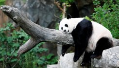 Giant Panda pregnancy cheers US national zoo