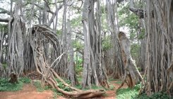 200-year-old banyan tree brought back to life in Goa