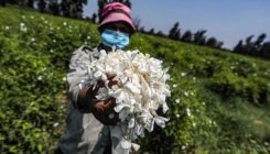 Egypt's blossoming trade in fragrant jasmine flowers