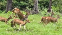 'Deer may be relocated from Turahalli to Bannerghatta'